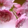 *April 8, 2013. Blossoms.